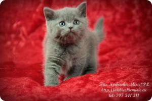 Kito Niebieskie Misie-koty brytyjskie (4)