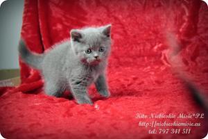 Kito Niebieskie Misie-koty brytyjskie (5)