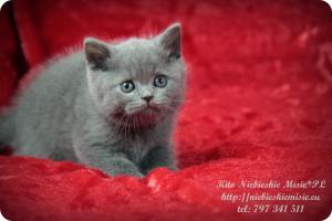 Kito Niebieskie Misie-koty brytyjskie (6)