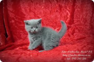 Kito Niebieskie Misie-koty brytyjskie (8)