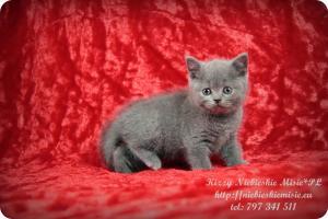Kizzy Niebieskie Misie-koty brytyjskie (1)