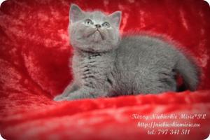 Kizzy Niebieskie Misie-koty brytyjskie (10)