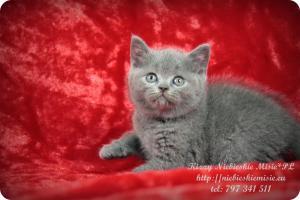 Kizzy Niebieskie Misie-koty brytyjskie (11)