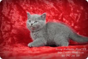 Kizzy Niebieskie Misie-koty brytyjskie (12)