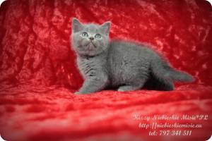 Kizzy Niebieskie Misie-koty brytyjskie (13)