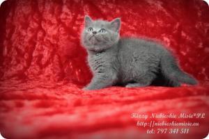 Kizzy Niebieskie Misie-koty brytyjskie (14)