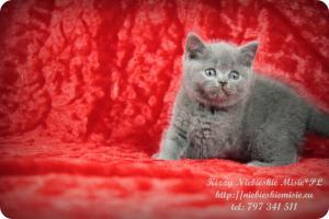 Kizzy Niebieskie Misie-koty brytyjskie (15)