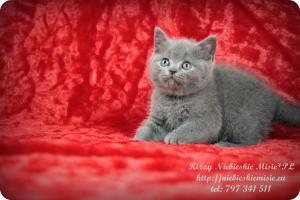 Kizzy Niebieskie Misie-koty brytyjskie (16)