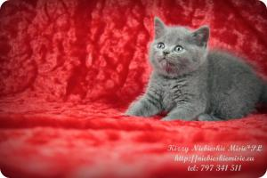 Kizzy Niebieskie Misie-koty brytyjskie (17)