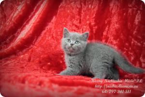 Kizzy Niebieskie Misie-koty brytyjskie (18)