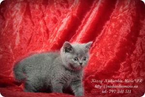 Kizzy Niebieskie Misie-koty brytyjskie (19)