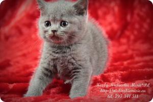 Kizzy Niebieskie Misie-koty brytyjskie (2)
