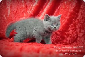 Kizzy Niebieskie Misie-koty brytyjskie (20)