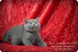 Kizzy Niebieskie Misie-koty brytyjskie (21)