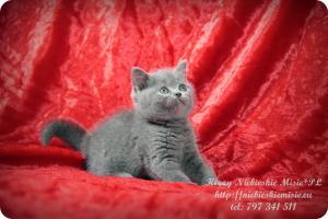 Kizzy Niebieskie Misie-koty brytyjskie (22)