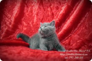 Kizzy Niebieskie Misie-koty brytyjskie (23)