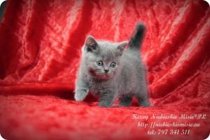 Kizzy Niebieskie Misie-koty brytyjskie (24)