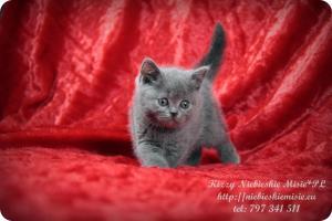 Kizzy Niebieskie Misie-koty brytyjskie (25)