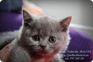 Kizzy Niebieskie Misie-koty brytyjskie (26)