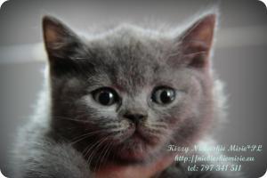 Kizzy Niebieskie Misie-koty brytyjskie (27)