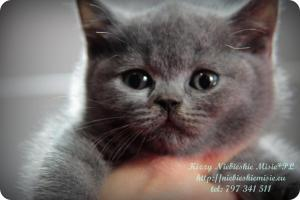 Kizzy Niebieskie Misie-koty brytyjskie (28)