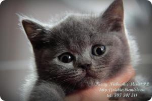Kizzy Niebieskie Misie-koty brytyjskie (29)