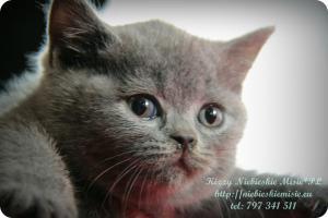 Kizzy Niebieskie Misie-koty brytyjskie (30)