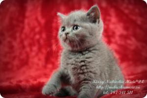 Kizzy Niebieskie Misie-koty brytyjskie (5)