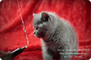 Kizzy Niebieskie Misie-koty brytyjskie (6)