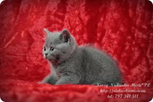 Kizzy Niebieskie Misie-koty brytyjskie (7)