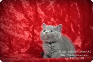 Kizzy Niebieskie Misie-koty brytyjskie (8)