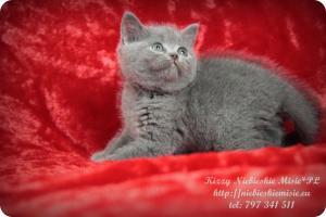 Kizzy Niebieskie Misie-koty brytyjskie (9)