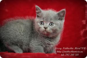 Kizzy Niebieskie Misie-koty brytyjskie (3)