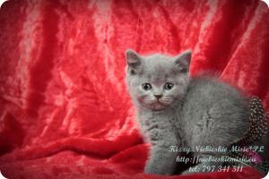 Kizzy Niebieskie Misie-koty brytyjskie (4)