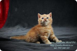 Lemon Niebieskie Misie-rude koty brytyjskie (10)