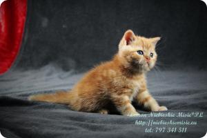 Lemon Niebieskie Misie-rude koty brytyjskie (11)