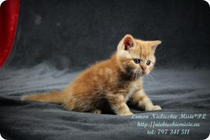 Lemon Niebieskie Misie-rude koty brytyjskie (12)
