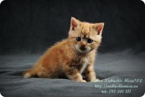 Lemon Niebieskie Misie-rude koty brytyjskie (14)