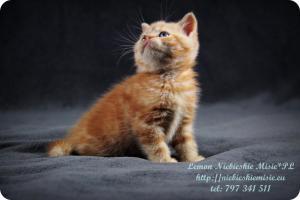 Lemon Niebieskie Misie-rude koty brytyjskie (15)