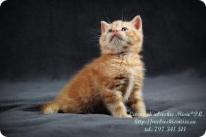 Lemon Niebieskie Misie-rude koty brytyjskie (16)