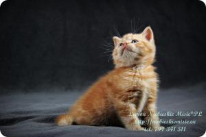 Lemon Niebieskie Misie-rude koty brytyjskie (17)