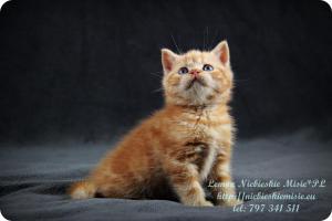 Lemon Niebieskie Misie-rude koty brytyjskie (18)