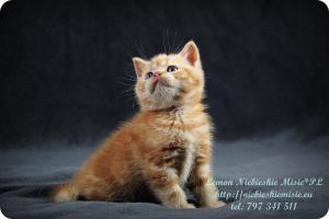 Lemon Niebieskie Misie-rude koty brytyjskie (20)
