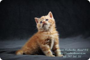 Lemon Niebieskie Misie-rude koty brytyjskie (21)