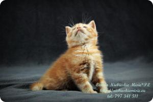Lemon Niebieskie Misie-rude koty brytyjskie (22)