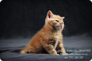 Lemon Niebieskie Misie-rude koty brytyjskie (23)