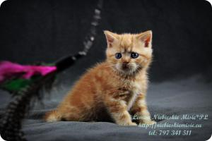 Lemon Niebieskie Misie-rude koty brytyjskie (24)