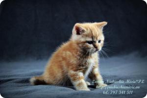 Lemon Niebieskie Misie-rude koty brytyjskie (25)