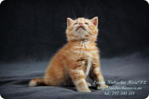 Lemon Niebieskie Misie-rude koty brytyjskie (26)