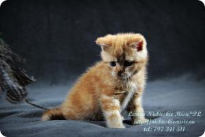 Lemon Niebieskie Misie-rude koty brytyjskie (27)
